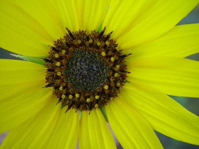 Sunflower along NM 285 - nice macro