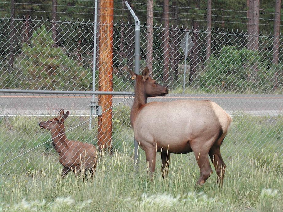 Elk in Los Alamos -