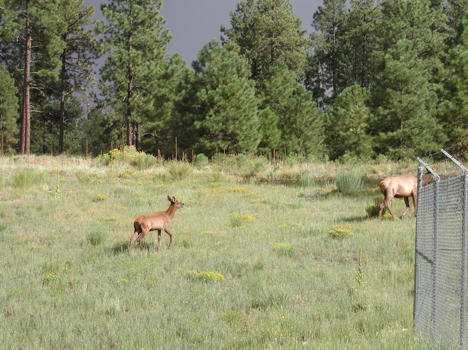 Elk in Los Alamos - ISO 100, 24mm, f4.9 @ 1/422 sec.