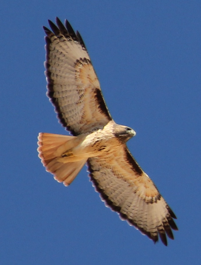 Red-tailed hawk 100% crop