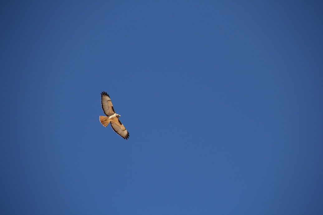 Red-tailed hawk - ISO 200, f8 @ 1/400