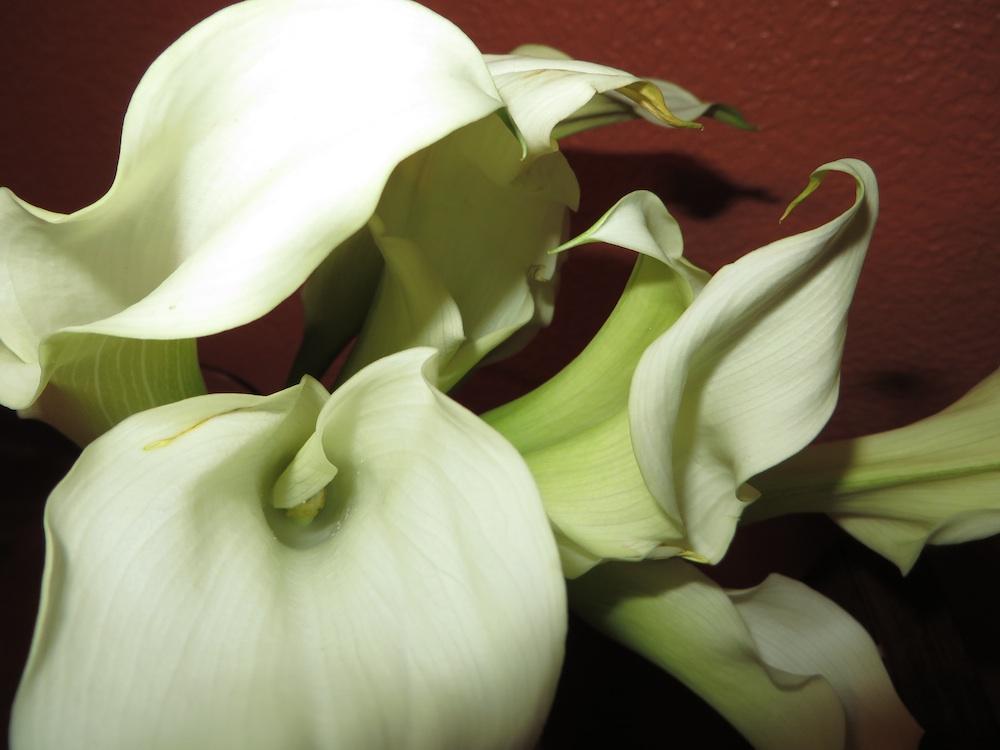 Calla Lily (Zantedeschia aethiopica) - ISO 125, f/3.5 @ 1/60 sec.