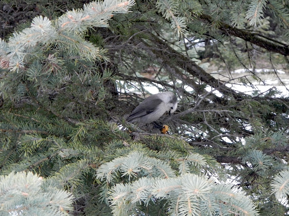 Gray Jay enjoying someone's discarded pit.