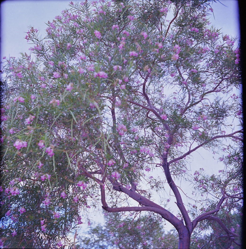 Desert willow at Sandia -- f/3.5 at 1/300.
