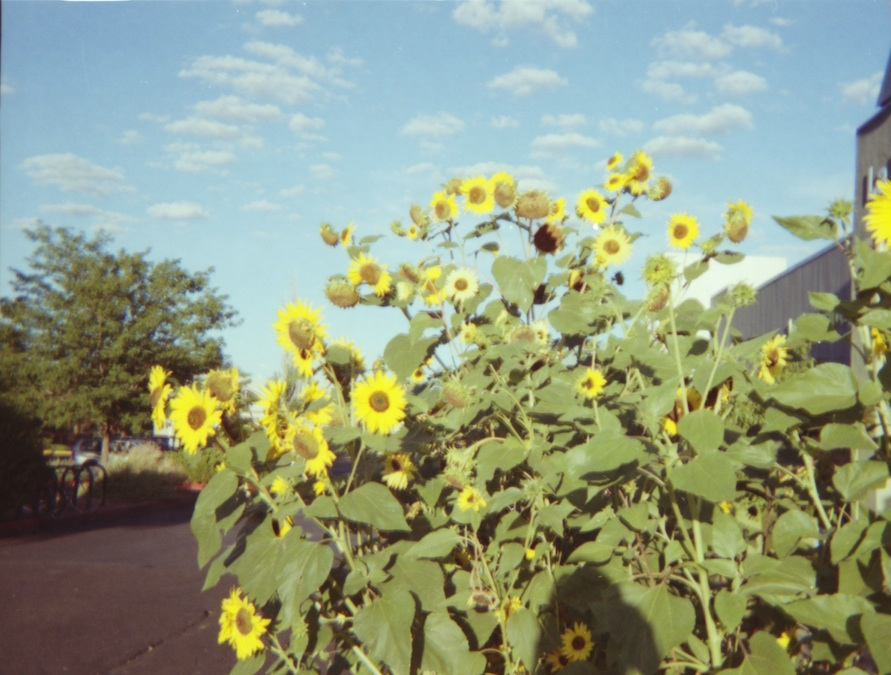 Sunflowers at the co-op.
