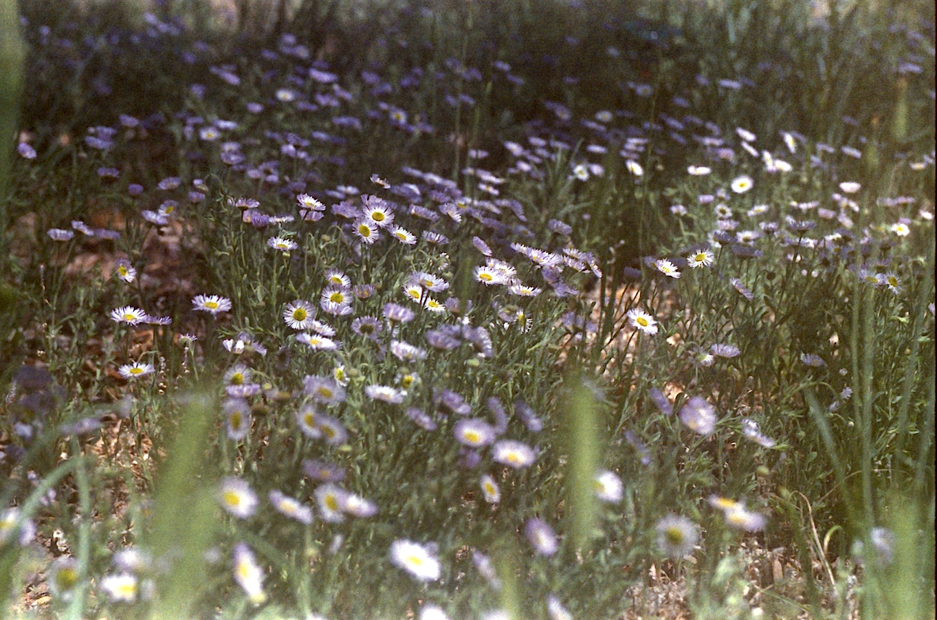 I can't mow the yard.  Look at all the daisies!