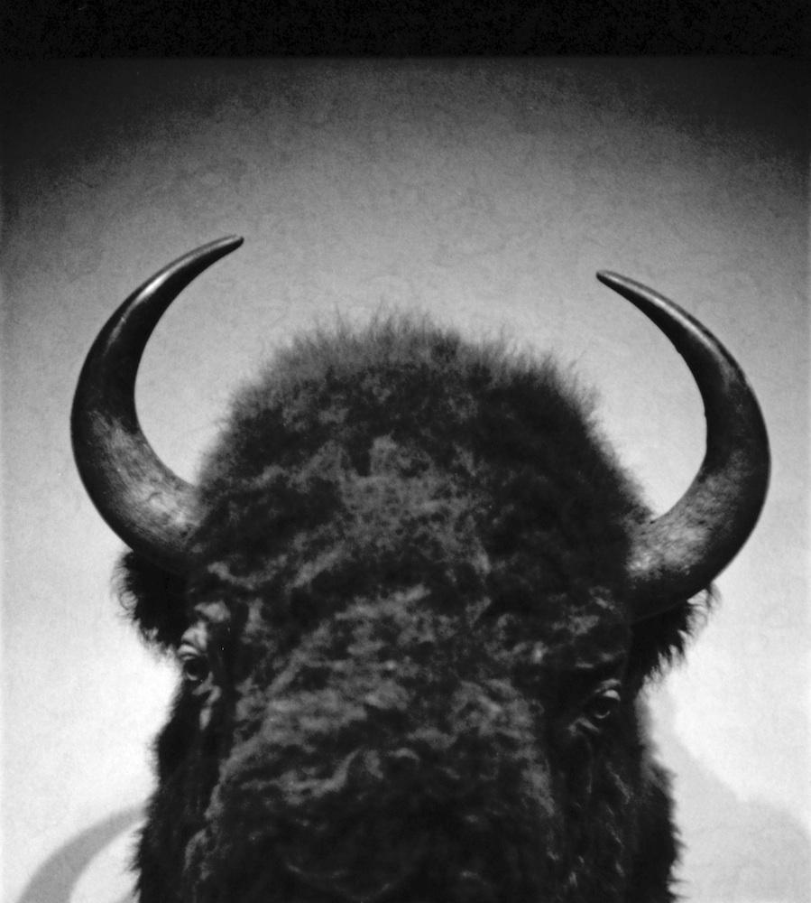 Buffalo head at Buffalo Thunder.