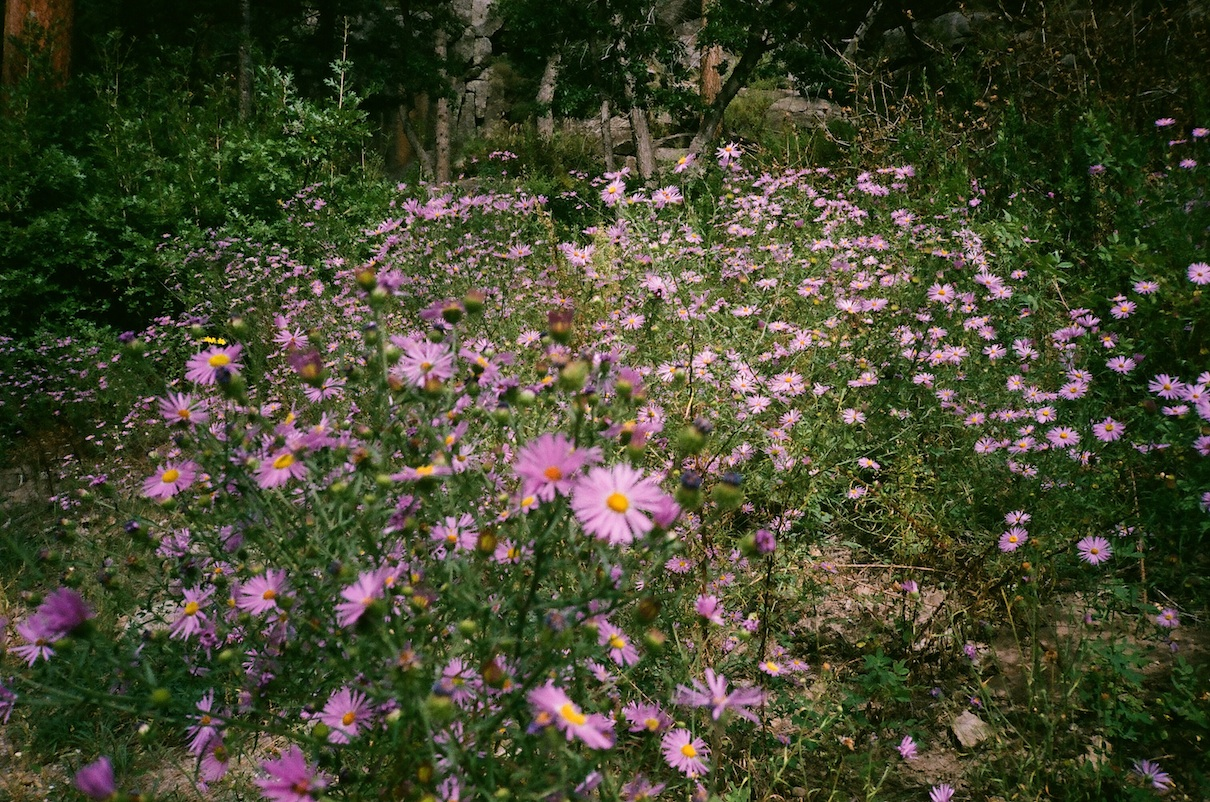 Asters in the canyon, Los Alamos. F4.