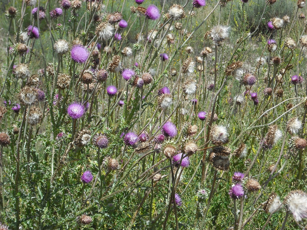 Thistles near the house in the previous photo.