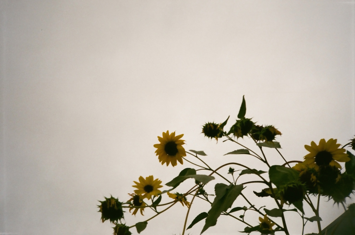 A strange composition but I like the fall sunflowers against the gray sky.
