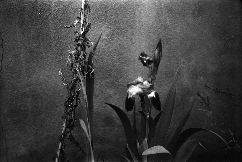 Irises in Santa Fe.