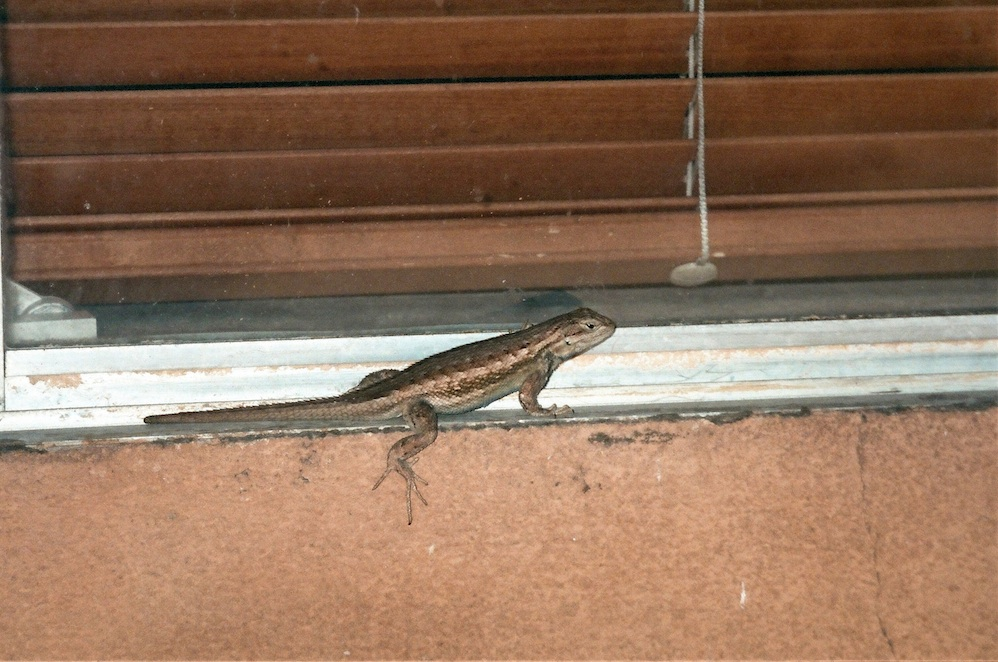 Lizard teasing the gatos on the other side of the screen.