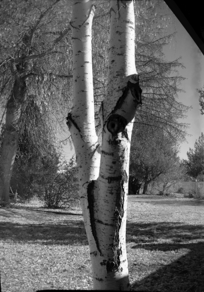 Lousy composition but I love the contrasts in aspen bark.