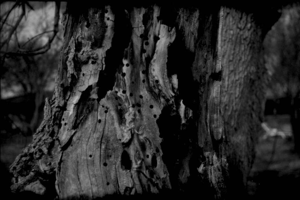 Wormy wood.