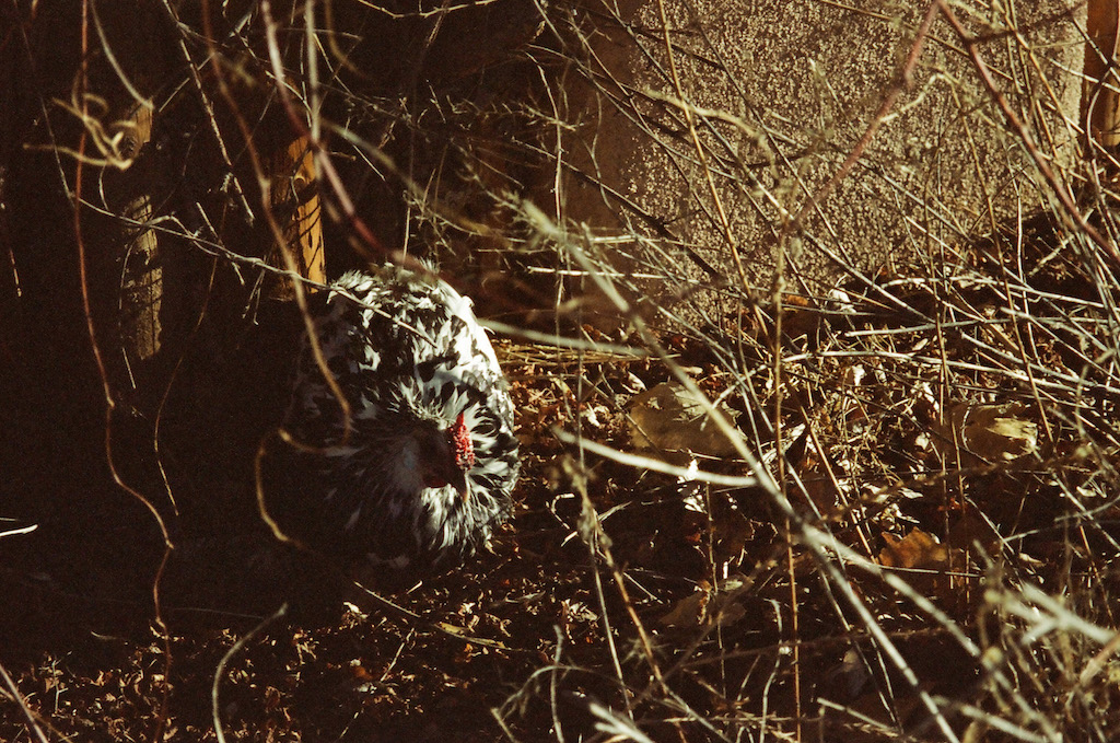I walked around Santa Fe while my car was being serviced.  This chicken was hanging out in a bush by the sidewalk.