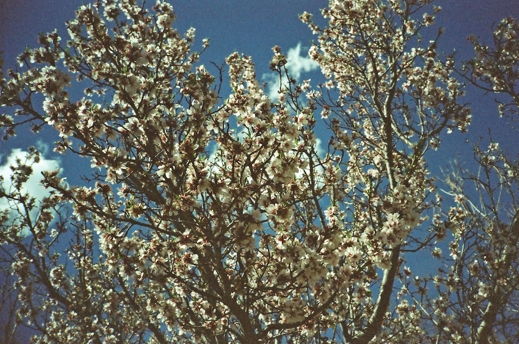 Blossoms in La Mesilla.