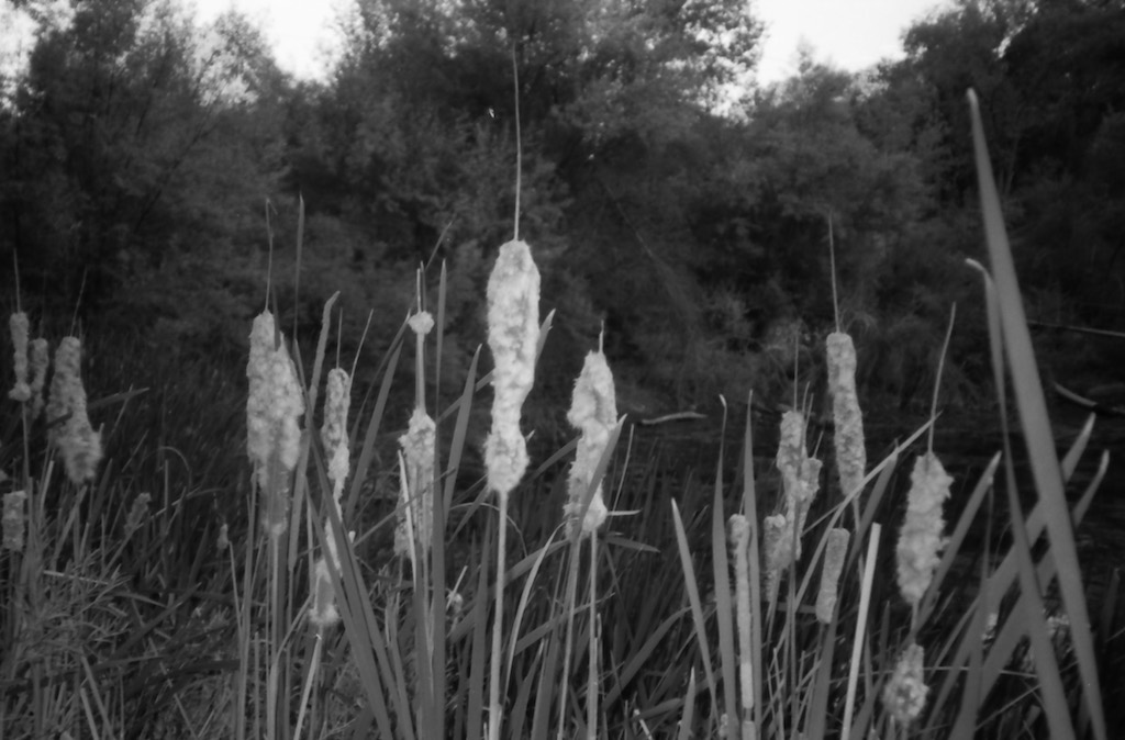 Cattails at the irrigation pond.