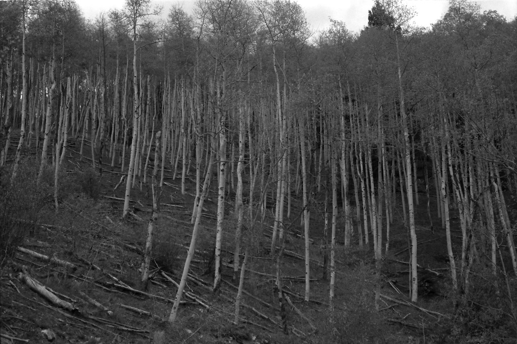 Aspens in the Sangre de Cristo mountains.