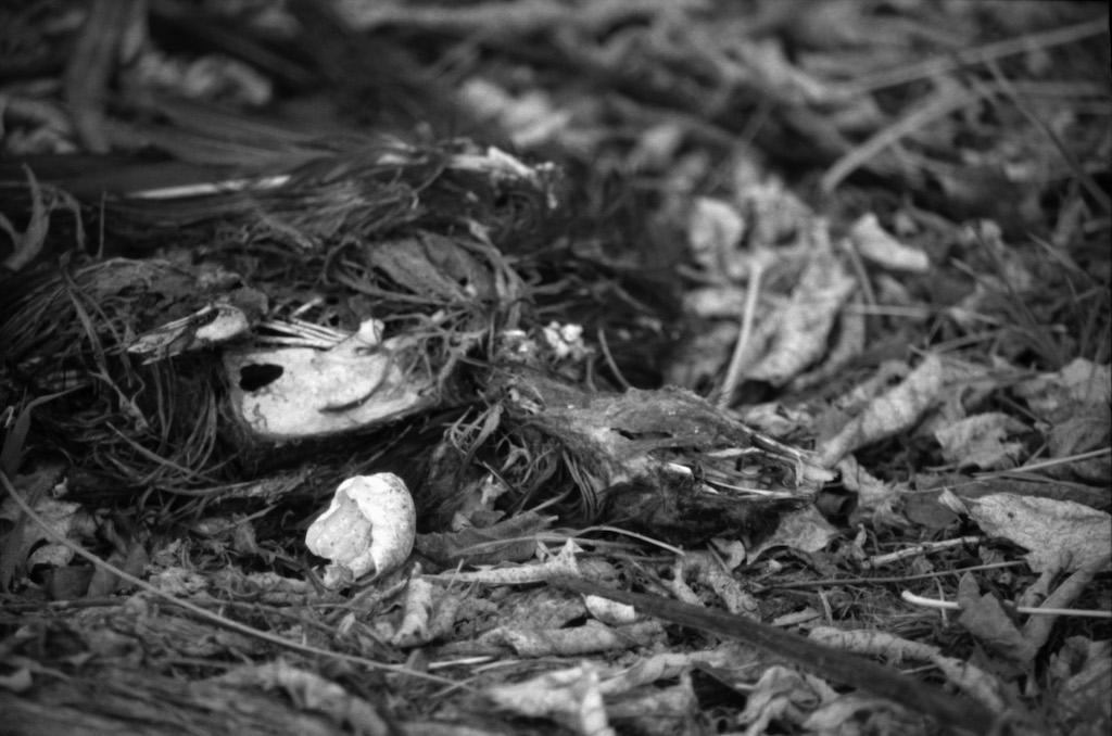 Dead raven in the yard