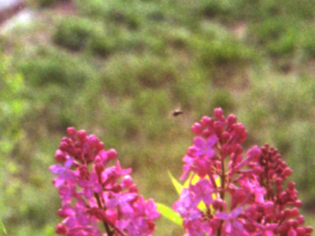 While I was zoomed in cleaning up dust, I saw a bee enjoying the lilacs