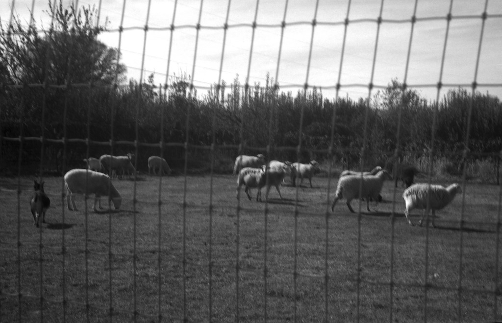 Neighbor's sheep and goats.