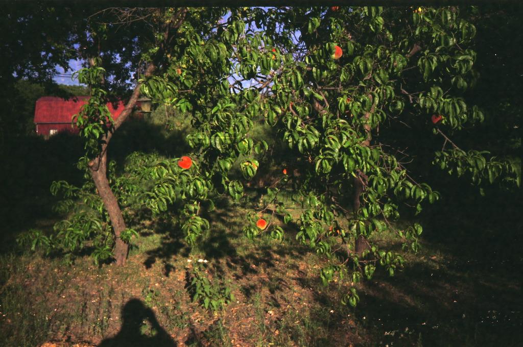 Peach tree.