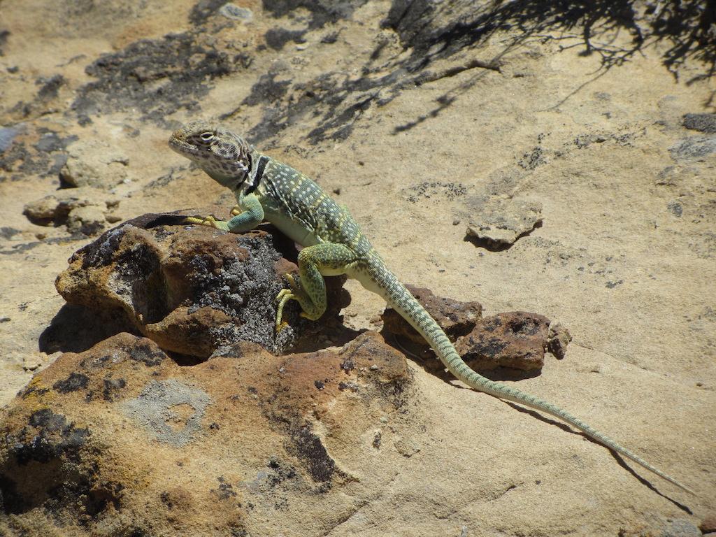 Collared lizard.