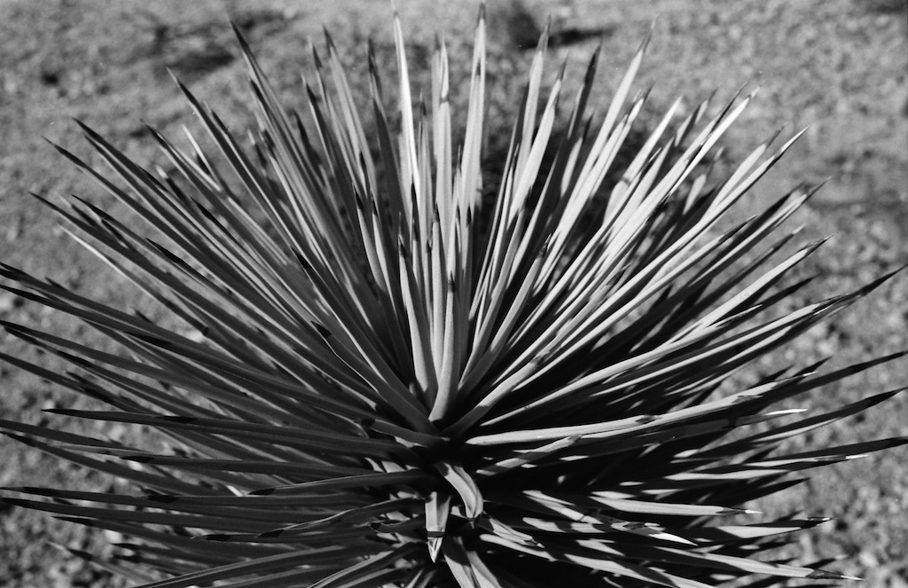 Yucca at Joshua Tree National Park.
