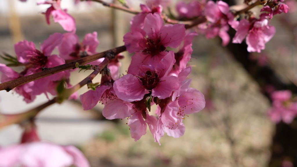 Blossoms in the yard. It's been so windy we may or may not get fruit.