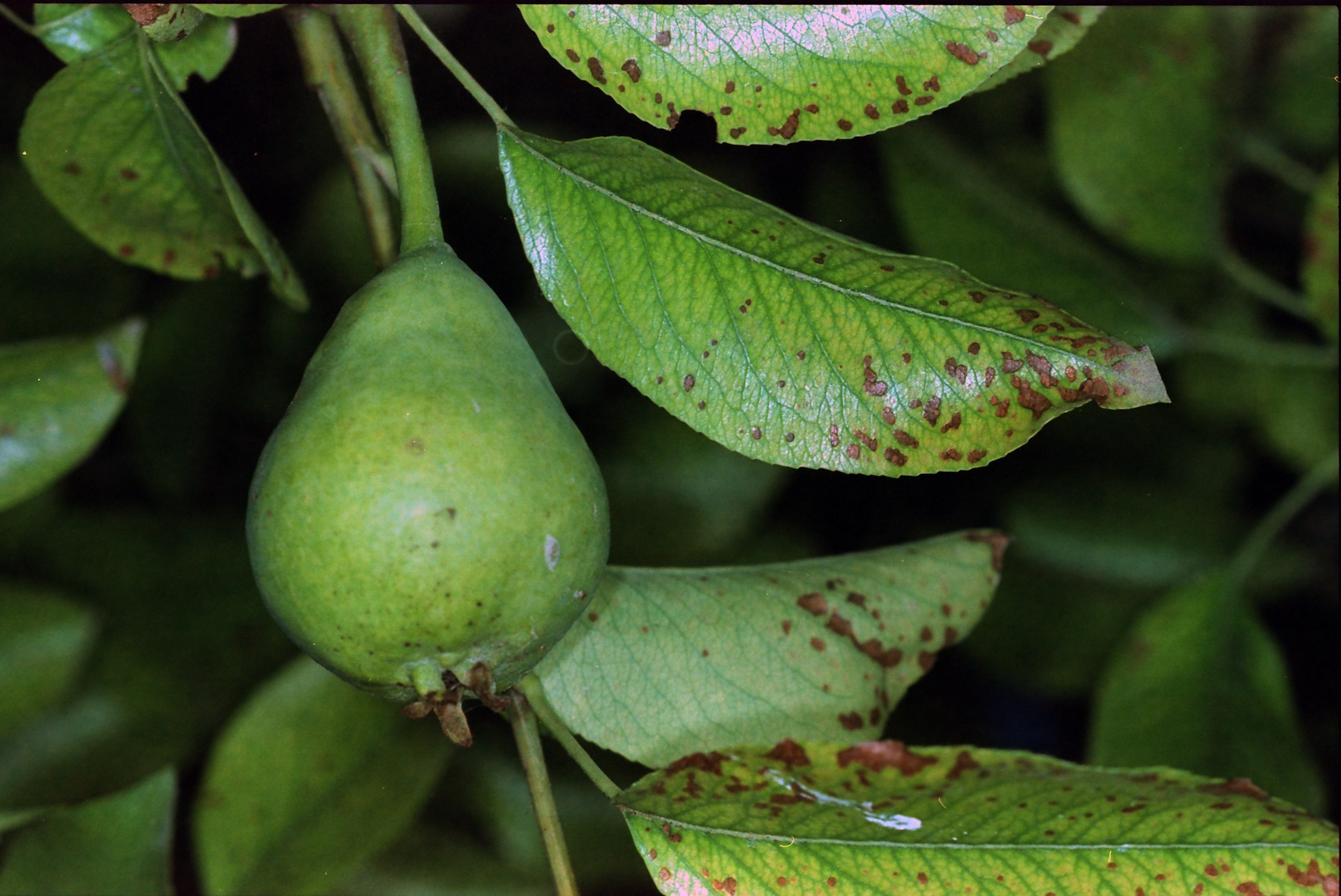 Looks like we'll have pears this year. No idea what that circle is.